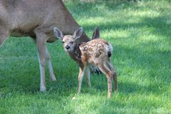 Mule deer fawn with mom. Stock Photos