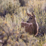 Mule Deer Fawn Stock Photo