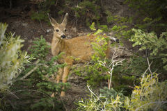 Mule deer fawn standing in forest, Yellowstone National Park, Wy. Fawn mule deer (Odocoileus hemionus) side view but alert and looking left toward the camera; in Royalty Free Stock Image