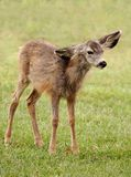 Mule Deer Fawn in Winter Coat Stock Image