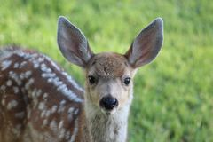 Mule deer fawn Stock Images