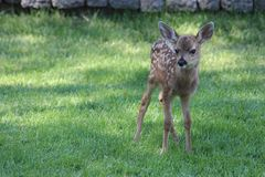 Mule deer fawn Stock Image