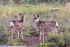 Mule Deer Fawns Stock Photography