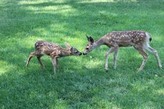 Mule deer fawns Stock Photos