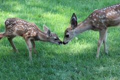 Mule deer fawns Royalty Free Stock Photography