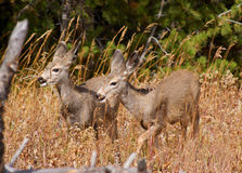 Mule Deer Fawns. Young Mule Deer fawns in grasses in Yellowstone  USA Royalty Free Stock Photo