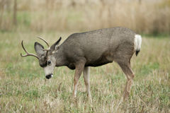 Mule Deer. Stock Photos