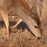 Mule Deer Feeding Royalty Free Stock Images