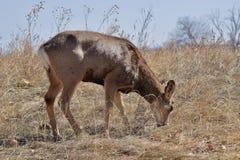 Mule Deer Feeding Royalty Free Stock Photos