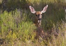 Mule deer in a field Royalty Free Stock Images