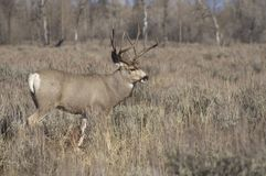 Mule Deer Buck Field Wyoming Native Wildlife Stock Photos