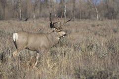 Mule Deer Buck Field Wyoming Native Wildlife. A mule deer standing in the field Stock Photos