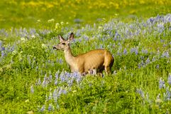 Mule deer in a field of flowers Stock Photos