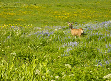 Mule Deer in a field of wildflowers. Royalty Free Stock Image