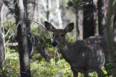Mule Deer in Glacier National Park Royalty Free Stock Photography