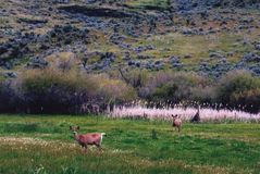 Mule Deer Glance Up From Grazing Stock Photos
