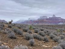 Mule deer in Grand Canyon National Park, Arizona, USA stock photography