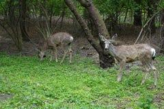 Mule Deer graze in park at Boise, Idaho. Royalty Free Stock Image