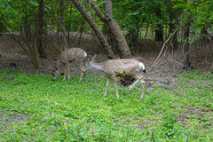 Mule Deer graze in park at Boise, Idaho. Royalty Free Stock Photo