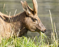 Mule Deer Grazing. Adult mule deer grazing along the Firehole River in Yellowstone National Park Stock Photography