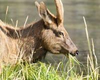 Mule Deer Grazing Stock Photography
