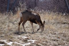 Mule Deer Grazing Royalty Free Stock Photography