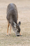 Mule Deer Stock Photography