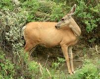 Mule Deer Grooming Stock Photos