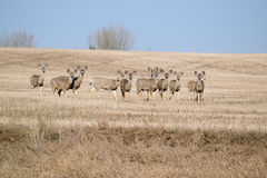 A group of Mule Deer Royalty Free Stock Photo