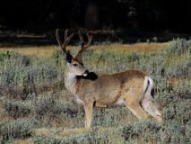 Mule deer with growing antlers stock images