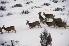 Mule deer herd in deep snow Stock Images
