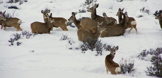 Mule deer herd in deep snow Royalty Free Stock Photos