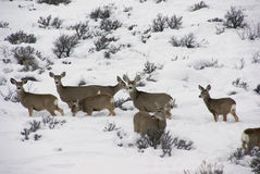 Mule deer herd in deep snow Royalty Free Stock Photography