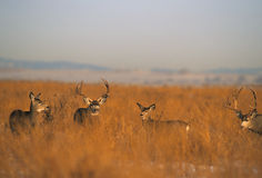 Mule Deer Herd During Rut Stock Images
