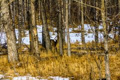 Mule deer in the forest, Banff National Park, Alberta, Canada. Mule deer hiding behind a tree in the forest in abnff Stock Images