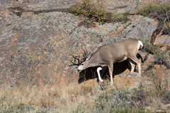 Mule deer on hillside Stock Photo