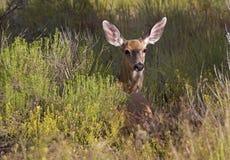 Mule Deer In A Field Royalty Free Stock Images