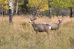 Free Mule Deer In Aspen Stock Photo - 48256750