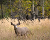 Free Mule Deer In Aspen Stock Photos - 48256763