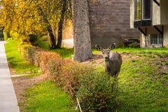 Mule Deer In The City Parameters Royalty Free Stock Photos