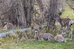 Mule deer in irrigated field royalty free stock images