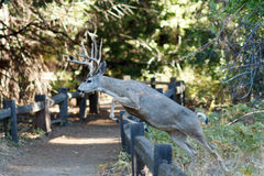 Free Mule Deer Jumping A Fence Stock Image - 82303521