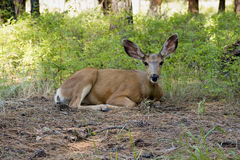 Mule Deer. At Kettle river provincial park Stock Photos