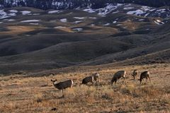 Mule deer landscape Stock Photos