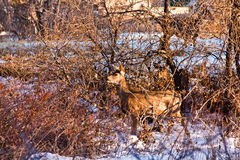 Mule Deer in Late Afternoon Royalty Free Stock Images
