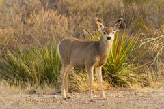 Mule Deer Look Up Stock Image