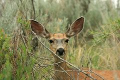 Mule Deer Looking at Camera Royalty Free Stock Photos