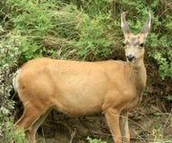 Mule Deer Looking at Camera Stock Photography