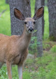 Mule Deer Looks at Camera Royalty Free Stock Photography