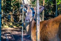 A Mule Deer in Mackinac Deerland ST. Ignace, Michigan royalty free stock image